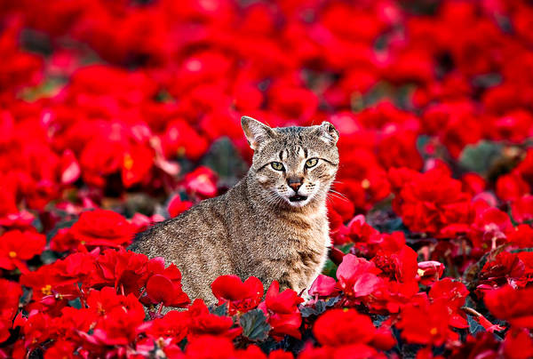 Cat In Red Poster