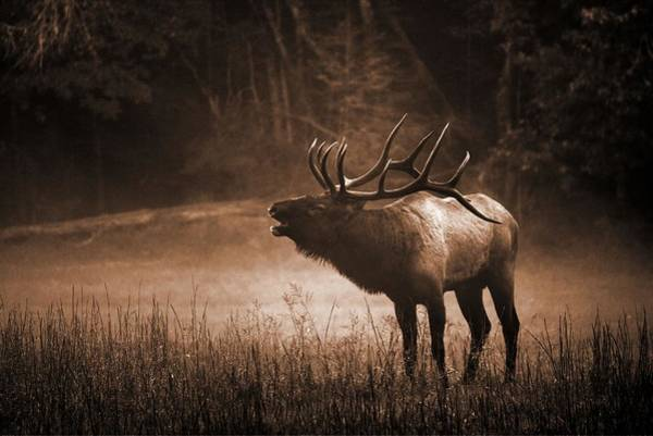 Cataloochee Bull Elk In Sepia Poster