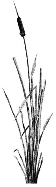 Poster featuring the drawing Cattail by Rob Christensen