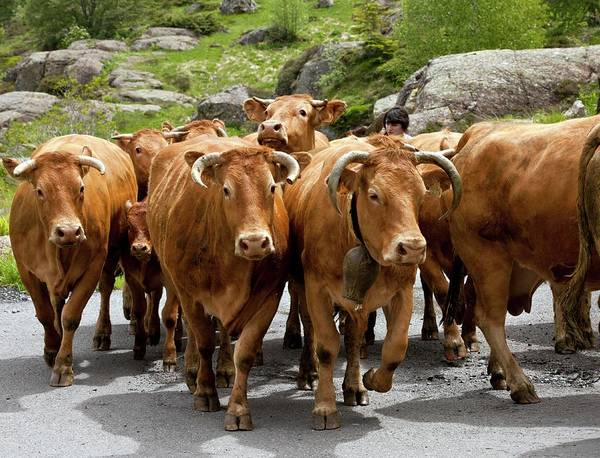 Cattle Herd Being Moved Poster