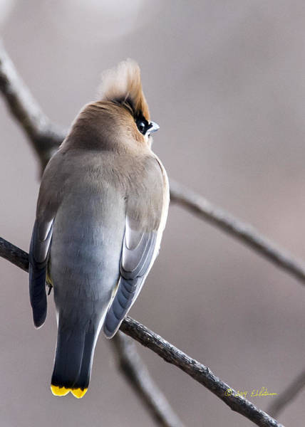Poster featuring the photograph Cedar Waxwing  by Edward Peterson