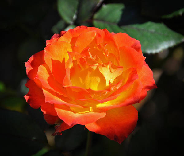 Charisma Rose Poster