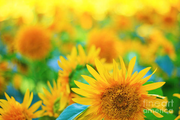 Cheerful And Happy Yellow Sunflower Field In Summer Poster