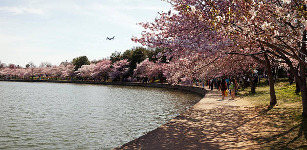 Cherry Blossom Trees At Tidal Basin Poster