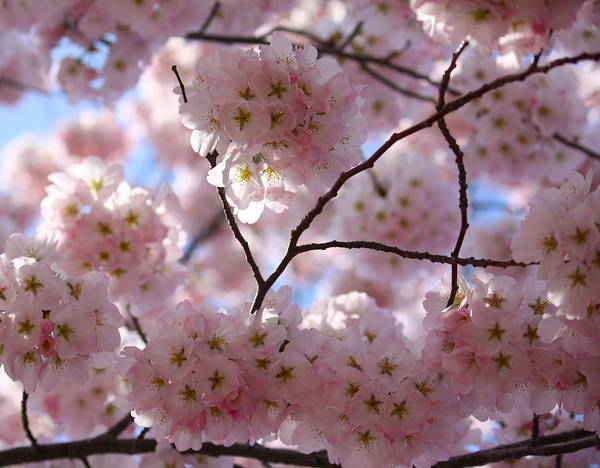 Cherry Blossoms And Blue Sky-1 Poster