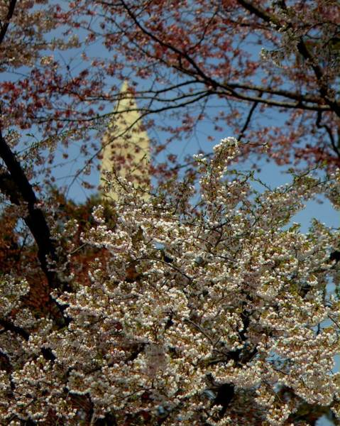 Cherry Blossoms And The Monument Poster