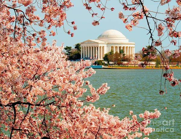 Cherry Trees At The Jefferson Poster
