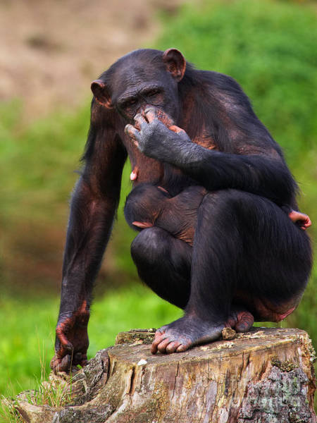 Chimp With A Baby On Her Belly  Poster
