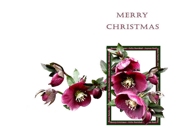 Christmas Hellebores Poster