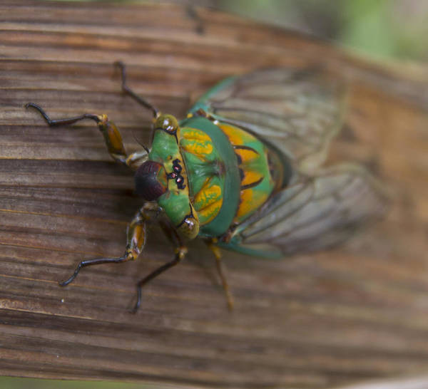Poster featuring the photograph Green Whizzer Cicada by Debbie Cundy