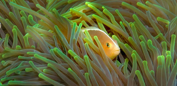 Close-up Of A Skunk Anemone Fish Poster