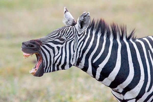 Close-up Of A Zebra Braying, Ngorongoro Poster
