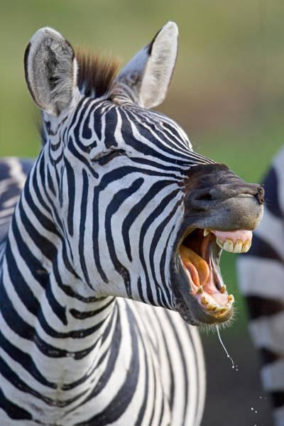 Close-up Of A Zebra Calling, Ngorongoro Poster