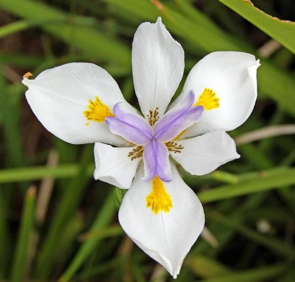 Close Up Of An Iris Poster