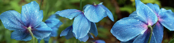 Close-up Of Himalayan Poppy Flowers Poster