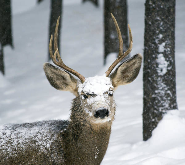 Close Up Of Winter Buck Poster