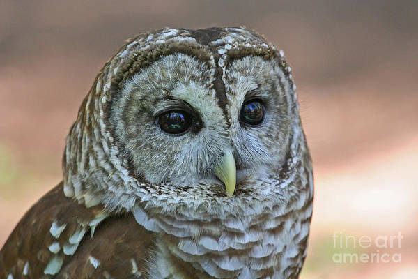 Closeup Of A Barred Owl  Poster
