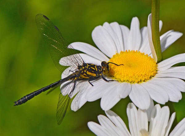 Clubtail Dragonfly On Oxeye Daisy Poster