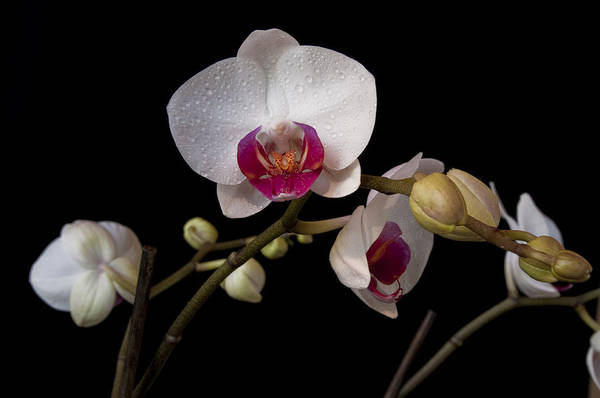 Colorful Moth Orchid Poster