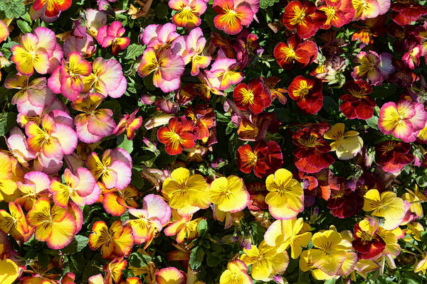 Colorful Pansies Poster