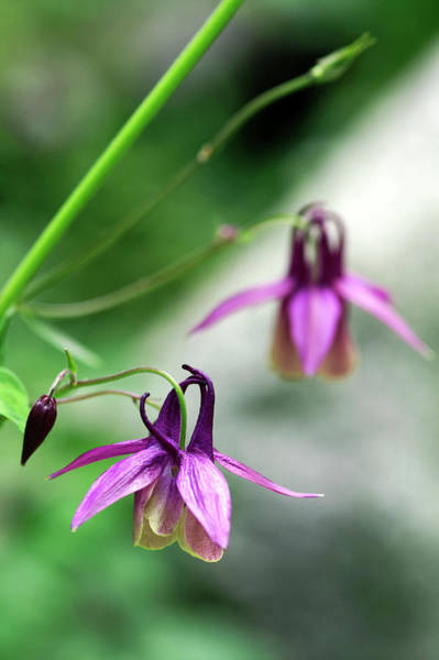 Columbine Flowers (aquilegia Oxysepala) Poster
