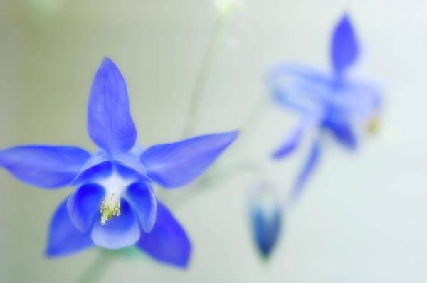 Columbine Flowers (aquilegia Sp.) Poster