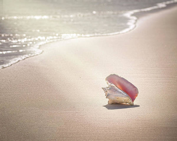 Conch Shell On Pink Sand Beach, Harbour Poster