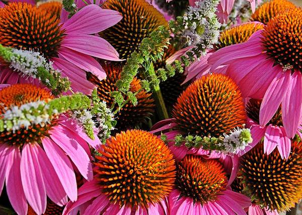 Cone Flowers And Mint Poster