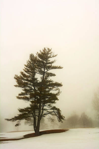 Coniferous Tree In Winter Poster