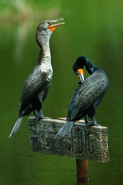 Cormorant Courtship Poster
