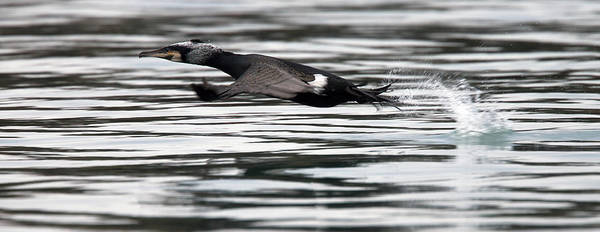 Cormorant Taking Off From The Sea Poster