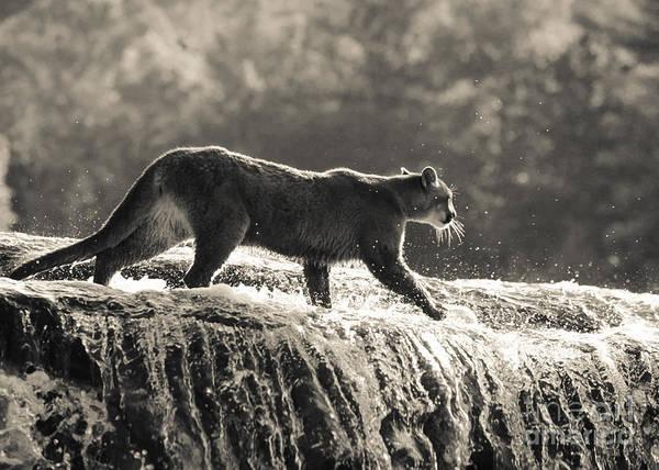 Cougar Crossing Poster