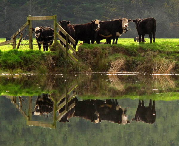 Cow Reflections Poster