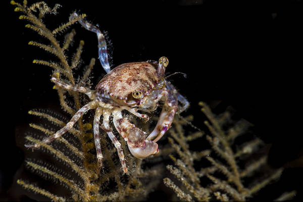 Crab Sitting At Night Poster