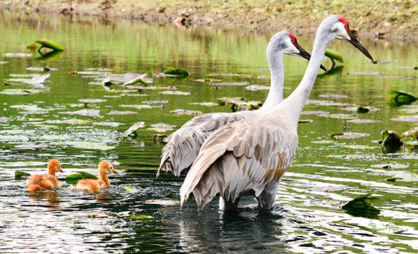 Crane Family Goes For A Swim Poster