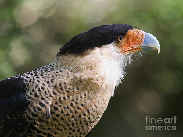 Crested Caracara Bird Of Prey Poster