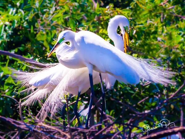 Criss-cross Egrets Poster