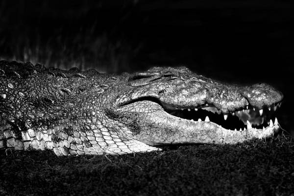 Poster featuring the photograph Crocodile  by Gigi Ebert