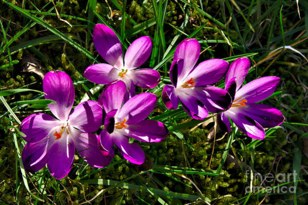 Crocus In The Grass Poster
