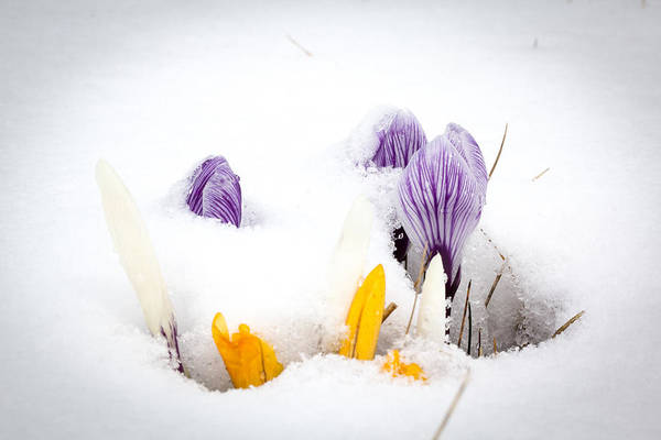Crocus In The Snow Poster