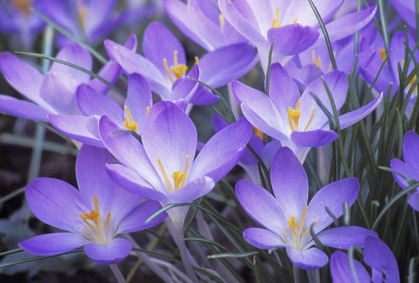 Crocus Joy Poster