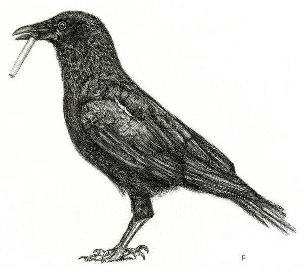 Poster featuring the drawing Crow by Penny Collins