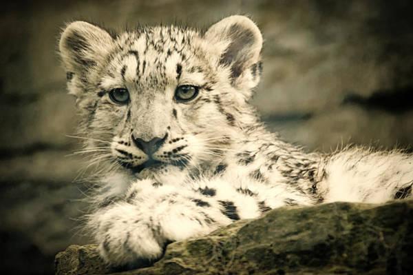 Cute Snow Cub Poster