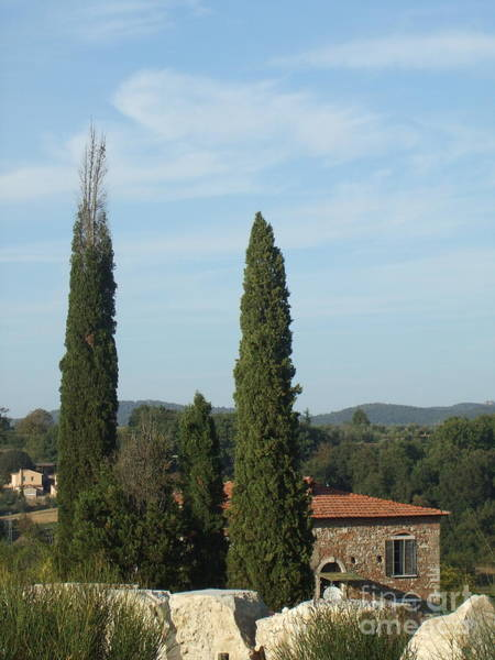 Cypress In Rapolano Poster