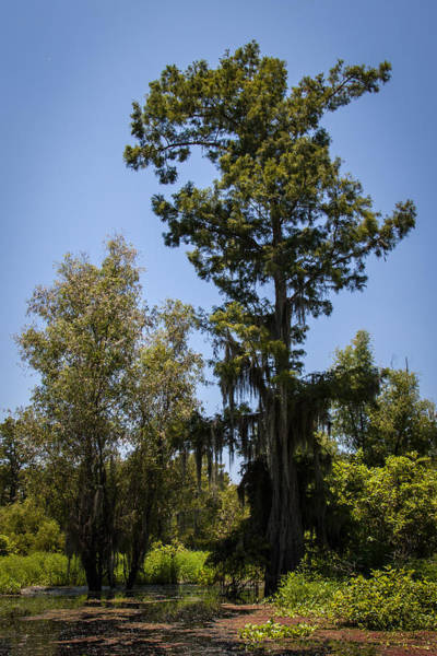 Cypress Tree With Moss Poster