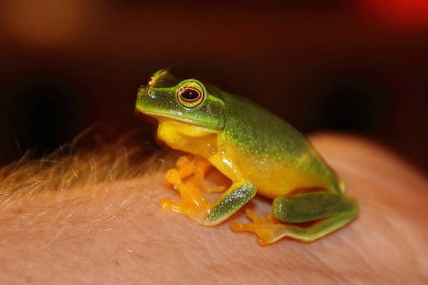 Poster featuring the photograph Dainty Tree Frog  by Debbie Cundy