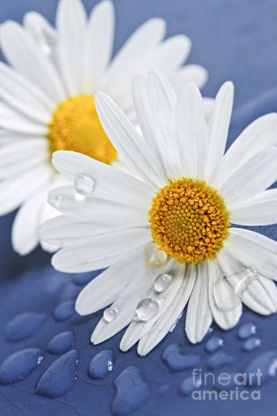Daisy Flowers With Water Drops Poster