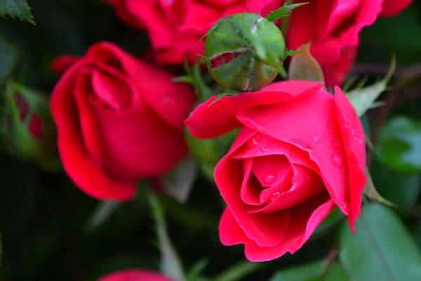Dark Pink Roses #1 Poster