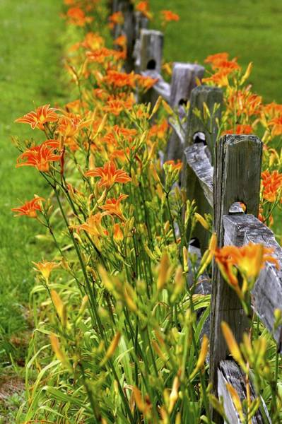 Daylilies Along Fence Poster