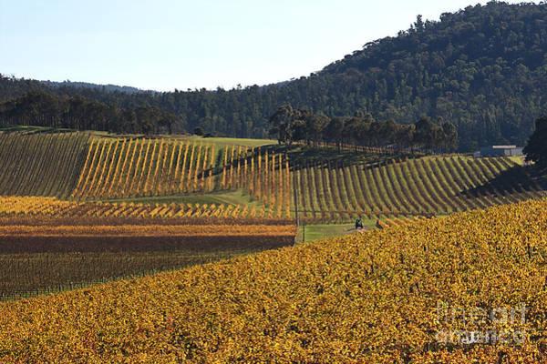 golden vines-Victoria-Australia Poster